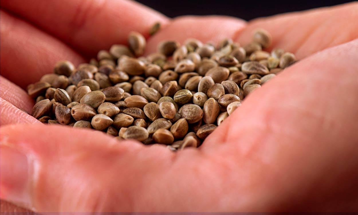 Semillas de cannabis para aportar nutrientes a nuestra alimentación